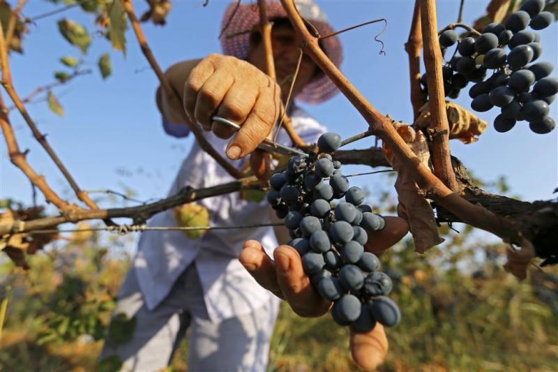 Europese wijnproductie keldert door klimaat