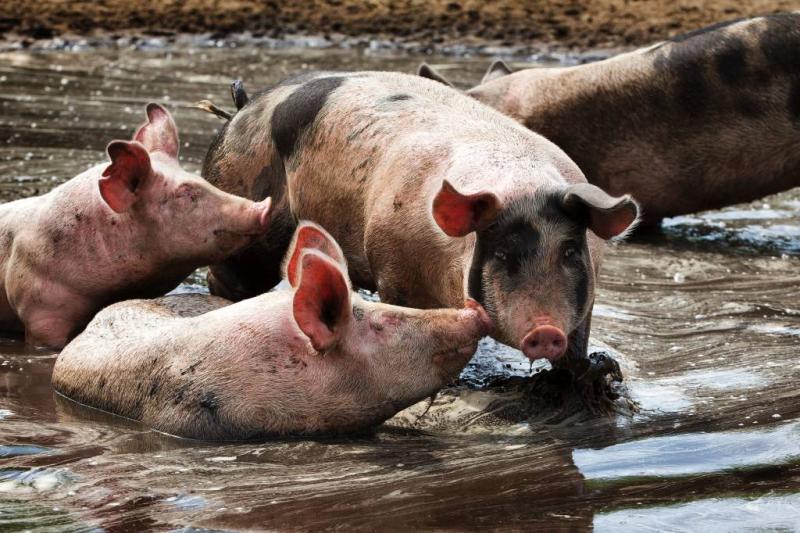 WHO: stop met antibiotica bij gezonde dieren