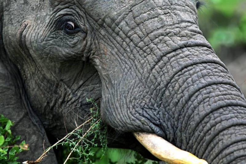 Olifant doodt Nederlander en Belgische vrouw