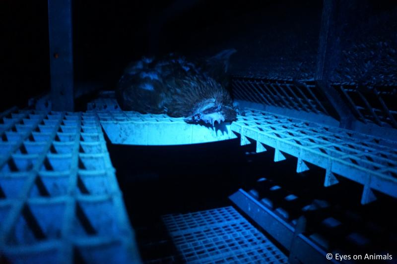 Miljoenen dieren in veehouderij gaan te vroeg dood (Foto: Wakker Dier)