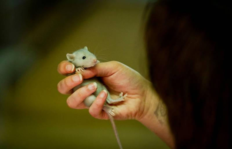 Rat ruikt tbc binnen paar tellen