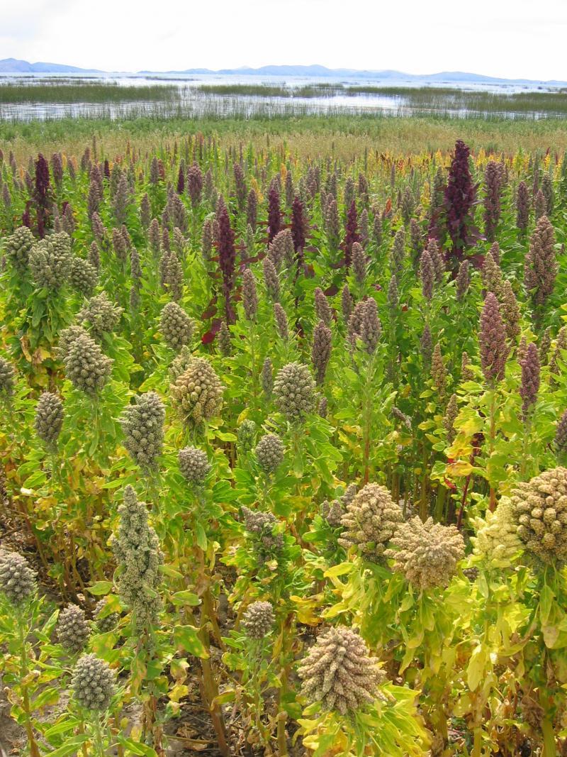 Quinoaveld in Cachilaya Bolivia bij het Titicacameer (Foto: Michael Hermann voor www.cropsforthefuture.org )