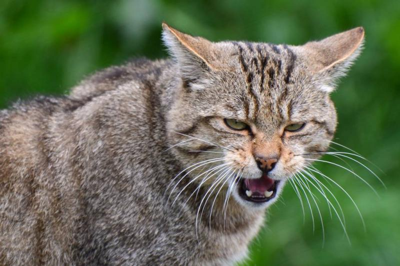 Wilde kat terug in Nederland