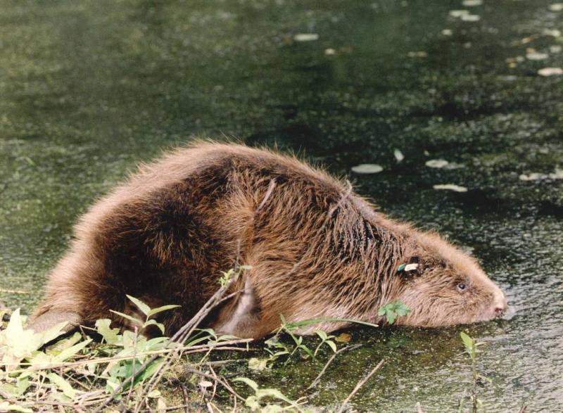 Limburgs waterschap laat bevers afschieten