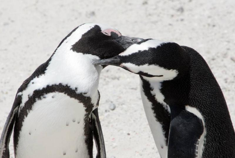 1,5 miljoen pinguïns ontdekt