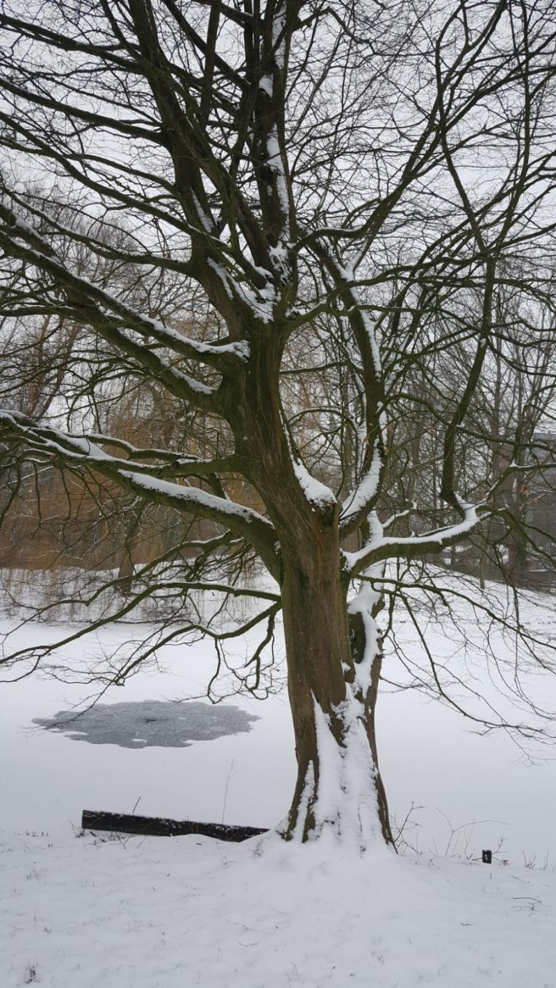 Een besneeuwde boom in Dordrecht  (Foto: Iteejer)