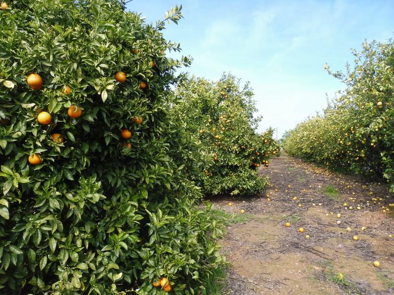 Sinaasappels in Portugal (Foto: qltel)