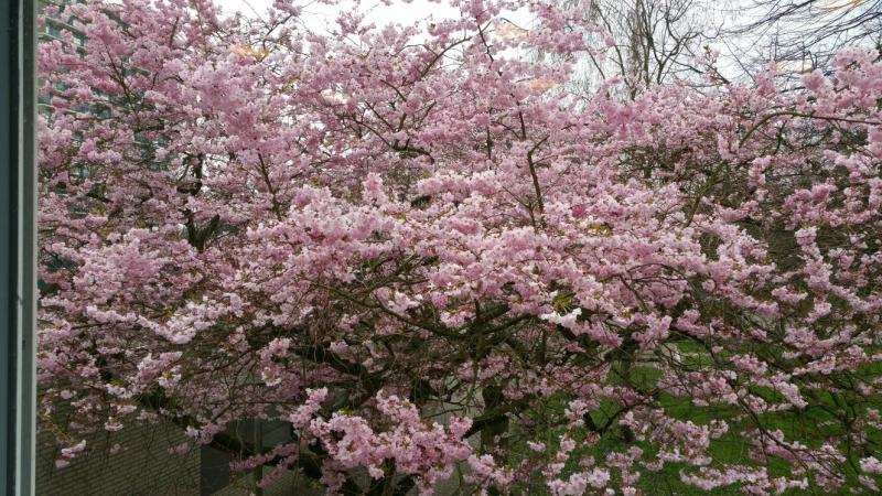 In Amsterdam staan de bomen in volle bloei (Foto: Interpretatie)