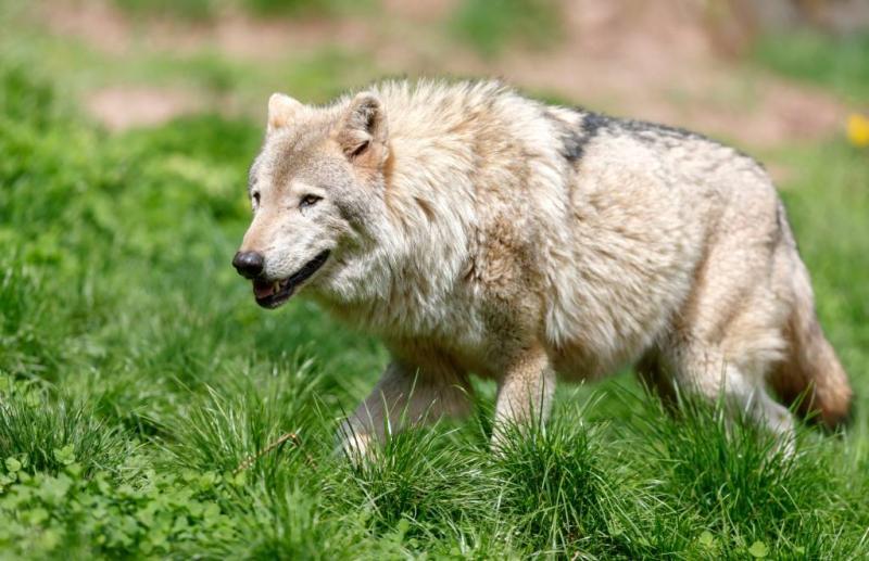Duitse boeren willen einde jachtverbod wolven