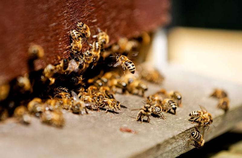Nederlander mag nu ook bijen gaan tellen