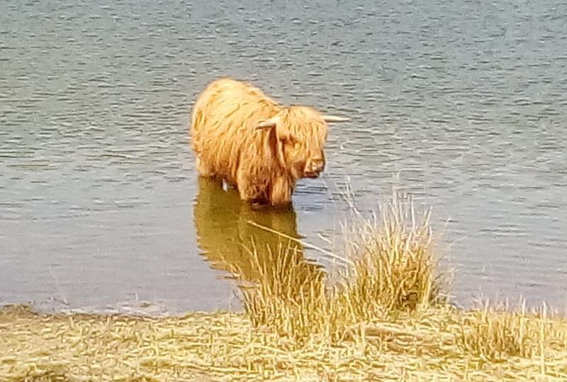 Dit dier zocht verkoeling in het Keelven bij Someren (Foto: qltel)