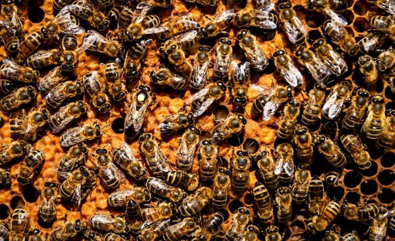 Ruim 30.000 bijen geteld dit weekeinde