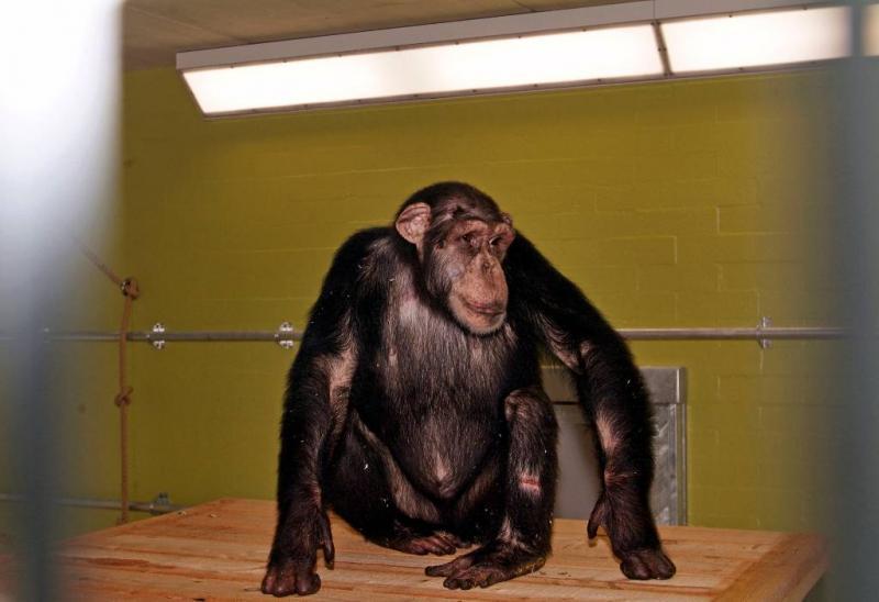 Fors meer apen gebruikt voor proeven