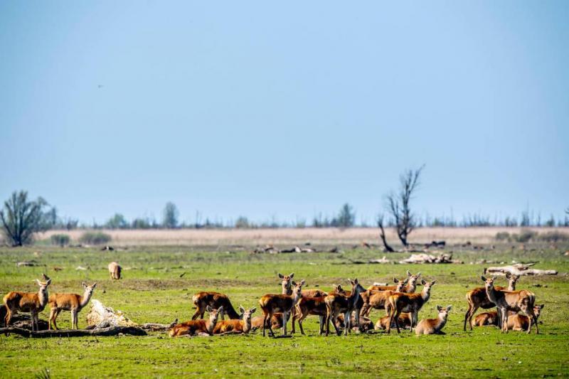 'Ruim 1100 dieren weg uit Oostvaardersplassen'