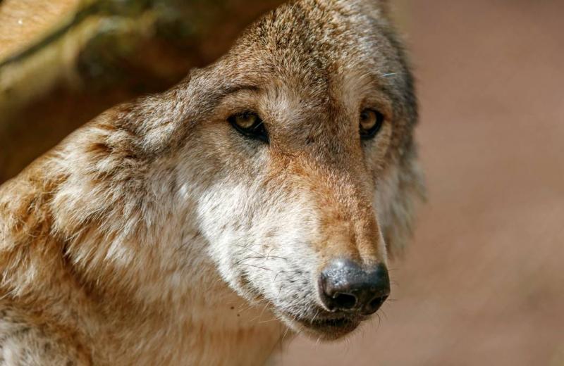 Wolf wil zich mogelijk vestigen in Drenthe