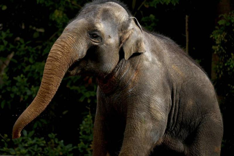Thaise man overleden na aanval olifanten