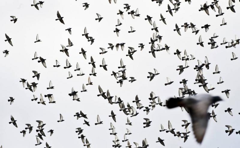 Roofvogel bedreigt duivensport