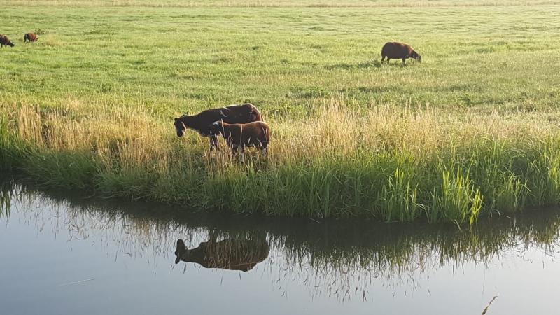 Iteejer zag een koe en kalfje in de wei  (Foto: iteejer)
