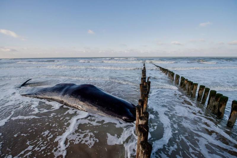 Potvis in nood voor de kust van Den Helder