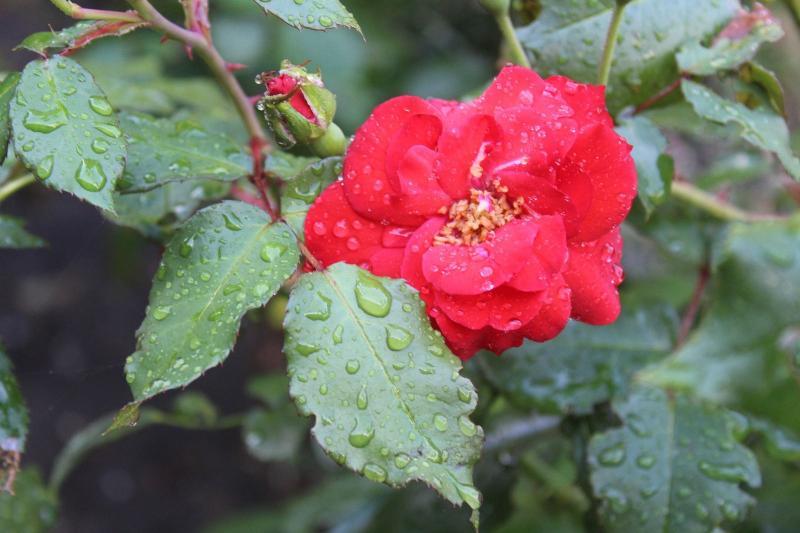 Bloem geniet van de regen (Foto: Raymond Dobber)