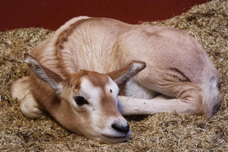 Algazelle geboren in Dierenpark Amersfoort
