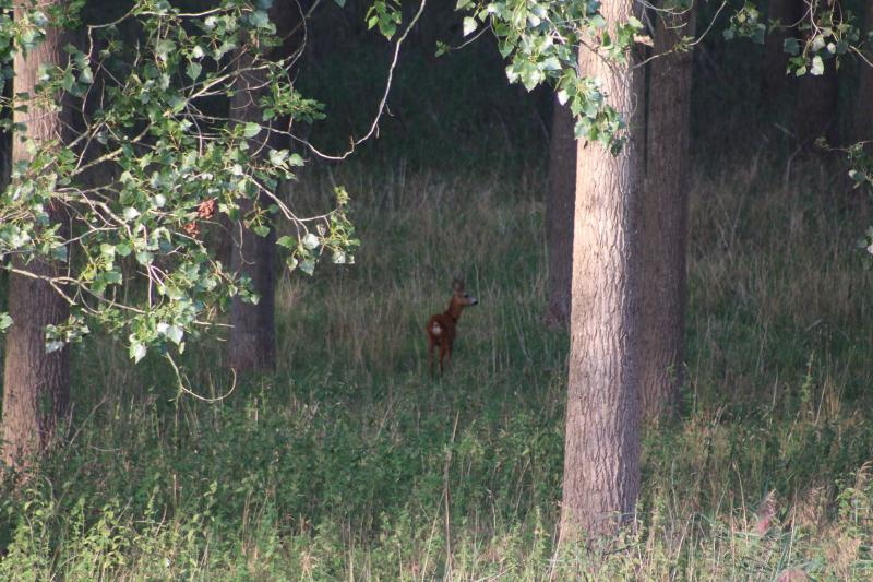 Jong hertje in het bos (Foto: Paulus de kabouter)