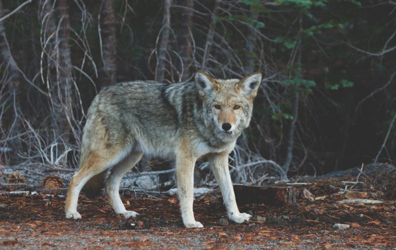 LTO Nederland is kritisch op wolvenplan (Foto ter illustratie: ©pxhere.com)