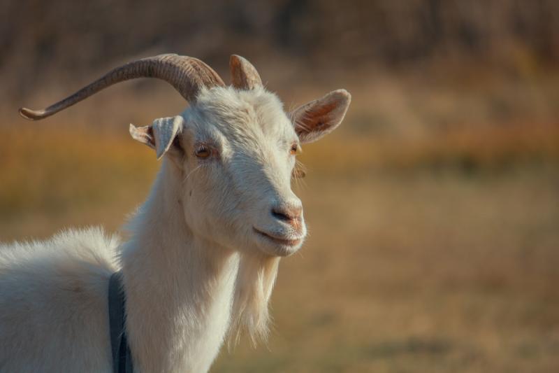 Recordaantal geiten in Nederland