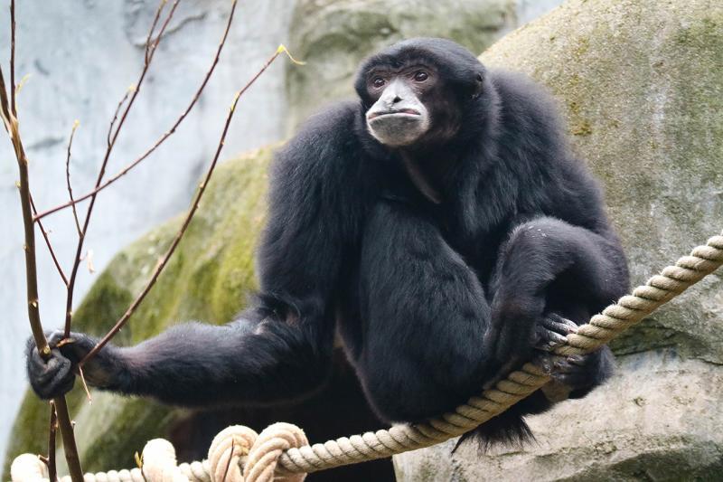 Verliefde aap geeft concert  (Foto: DierenPark Amersfoort )