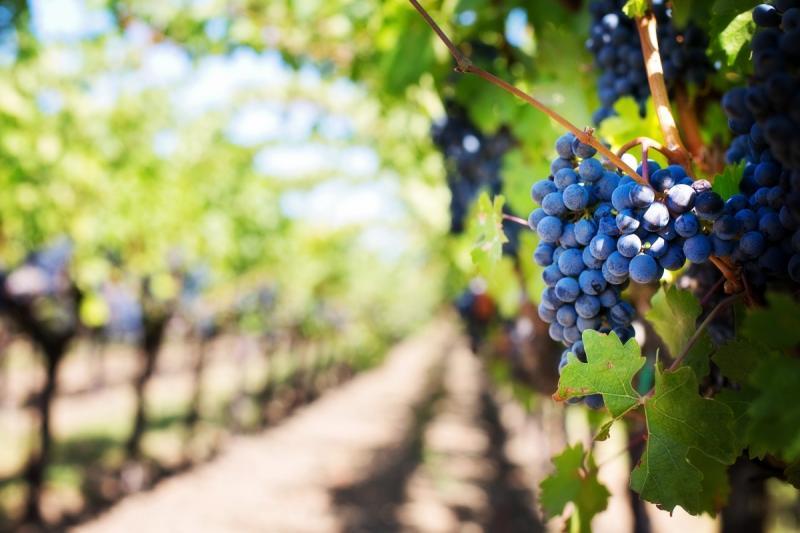 Wijnboeren leveren vaakst direct aan consument (Foto ter illustratie: pxhere)