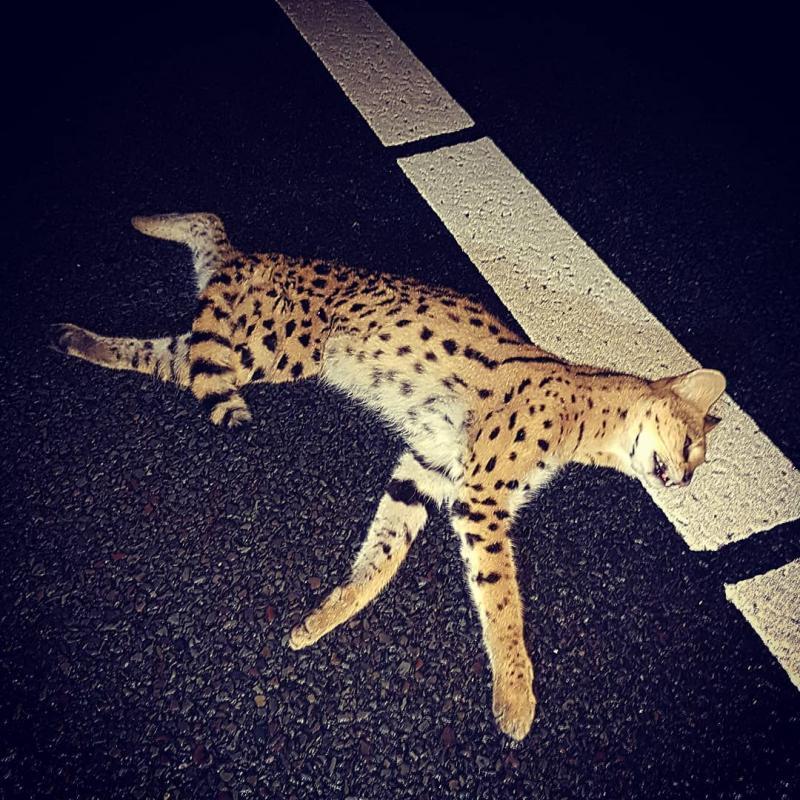 Politie vindt doodgereden Serval (Foto: Politie Basisteam Westelijke Mijnstreek)