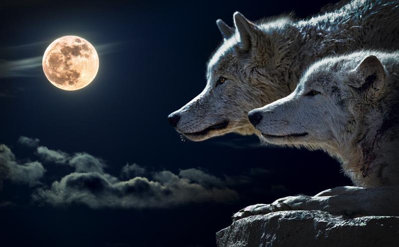 Is er plaats voor de wolf in Nederland? Volgens LTO wel  (Foto: Pxhere)