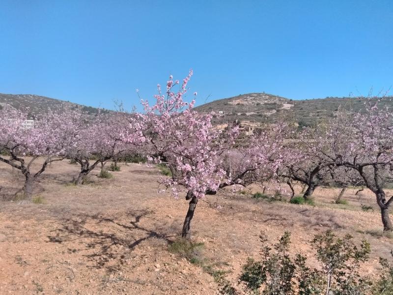 Amandelbomen in bloei bij Peniscola, Spanje (Foto: Kroezel)
