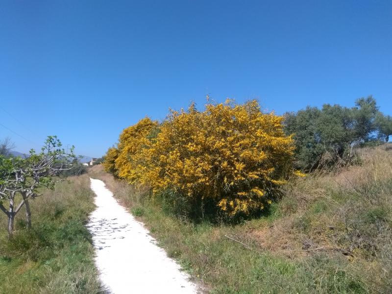 Bloeiende Mimosabomen (Foto: Kroezel)