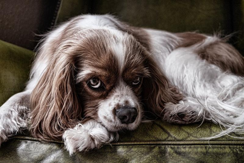 Minister Schouten verbiedt gebruik stroombanden bij honden