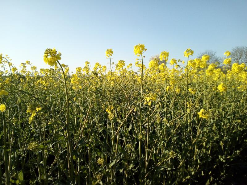 Bloeiend koolzaad in een lekker zonnetje (Foto: FOK!)