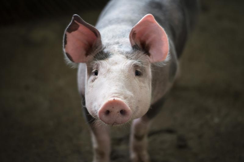 Een varken ter illustratie (Foto: Pixabay)