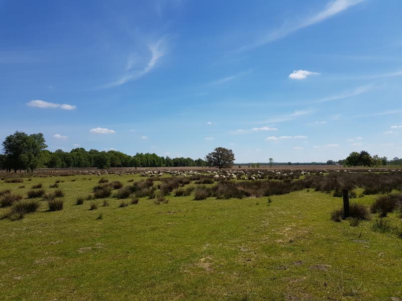 Een schaapskudde op het Dwingelerveld aan de kant van Ruinen (Foto: spylacopa_68)