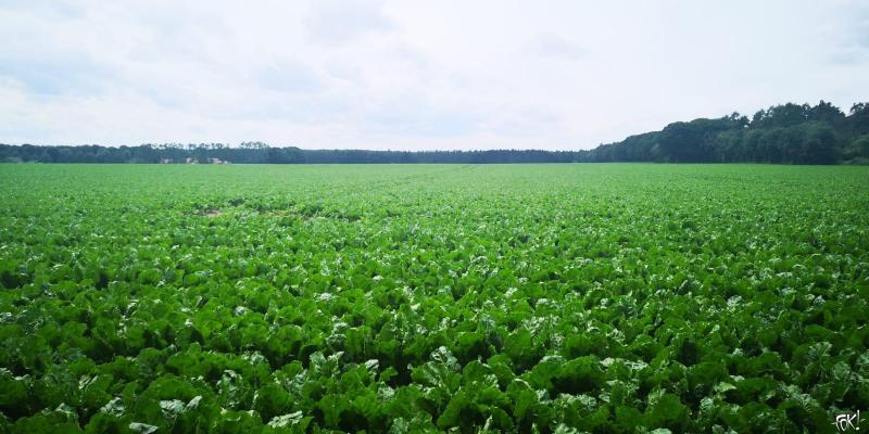 Een veld vol suikerbieten in Duitsland  (Foto: FOK!)