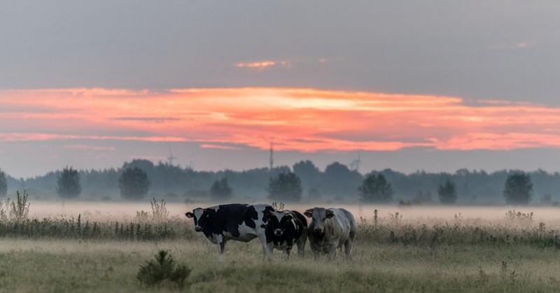 Koebeesten in Eemnes (Foto: KlapMongeaul)