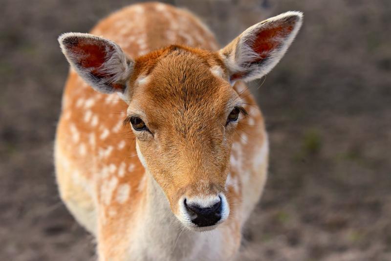 Animal Rights wil afschieten damherten voorkomen (Afbeelding ter illustratie: Pixabay)