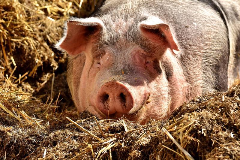 Een varken (Afbeelding ter illustratie: Pixabay)