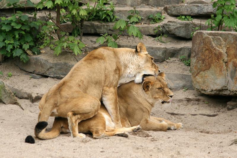 Paringen tussen leeuwinnen zijn zowel in dierentuinen als in het wild gezien (Foto: ARTIS, Ronald van Weeren)