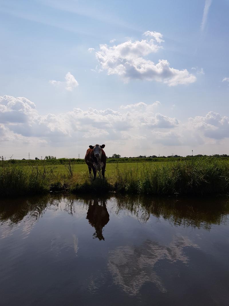 Koe aan het water (Foto: spylacopa_68)