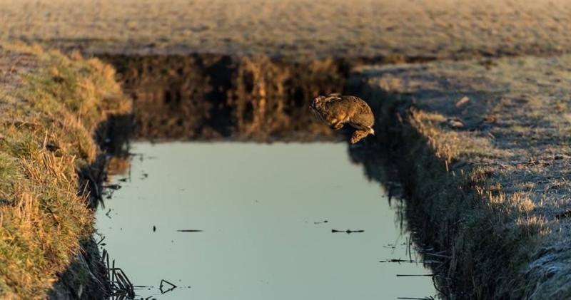 Springende haas (Foto: KlapMongeaul)
