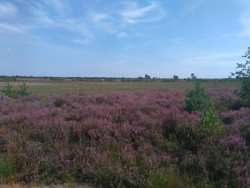 Stabrechtse Heide (Foto: Kroezel)