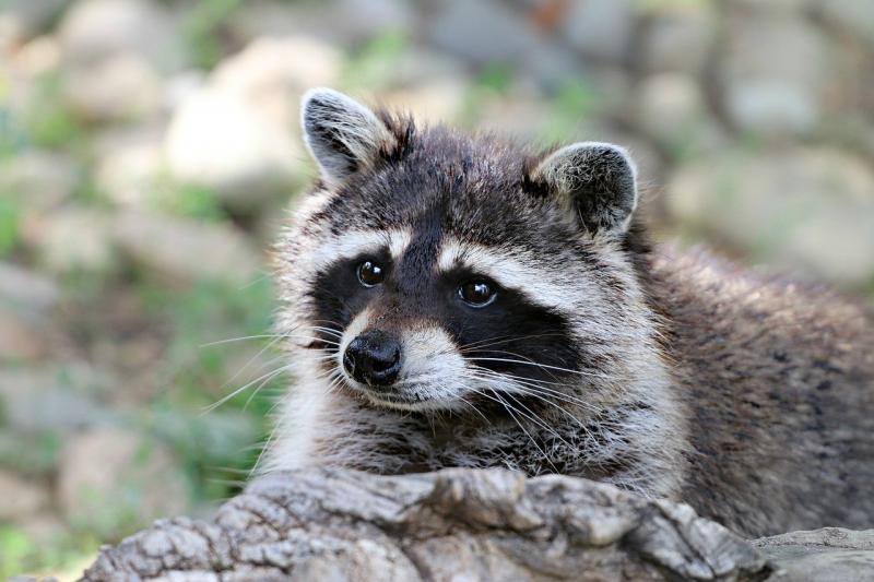 Een wasbeer ter illustratie (Afbeelding: Pixabay)