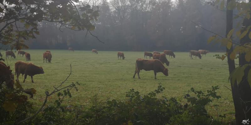 Koeien  (Foto: FOK!/DJMO)