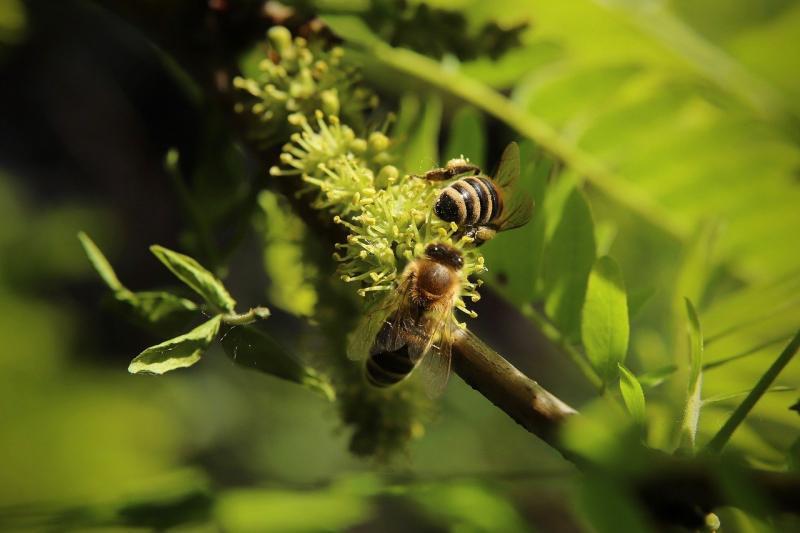 Bijen ter illustratie (Afbeelding: Pixabay)