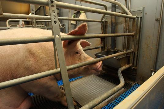 Miljoenen varkens ervaren ernstig ongerief (Foto: copyright Wakker Dier)